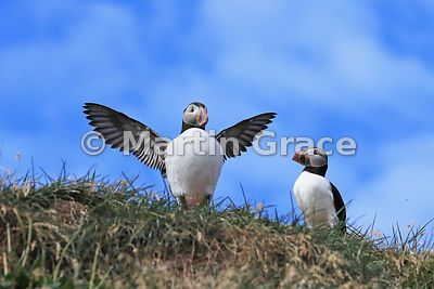 Atlantic or Common Puffin (Fratercula arctica) exercising its wings prior to take-off, Hafnarholmi, Borgarfjordur Eystri, Austurland, Iceland