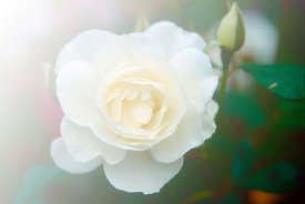 white rose, Franche comte, France