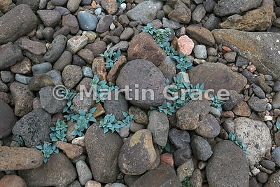 Oysterplant (Mertensia maritima) - many plants (mainly non-flowering), Stenness, Northmavine, Shetland