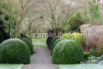 Clipped box mounds frame a path leading into the front garden along with bright Choisya ternata Sundance and deep purple Pittosporum tenuifolium 'Tom Thumb'