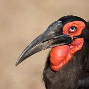 Southern Ground Hornbill (Bucorvus Leadbeateri) head shot