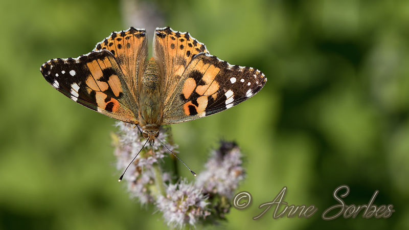 Belle-dame (Vanessa cardui) photos