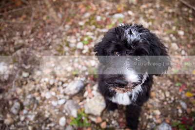 curly coated groomed puppy looking upward from pebbles