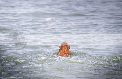 red dog from behind swimming into lake with minimal background