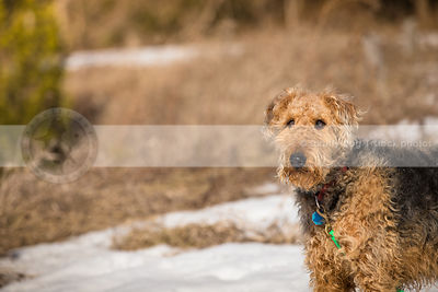 handsome groomed airedale terrier standing in field