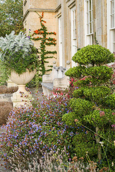 Cloud-pruned Ilex crenata on the terrace surrounded by blue ceratostigma, lavender and fuchsia with trained pyracantha on wall beyond beside urn containing a mix of annuals. Bourton House, Bourton-on-the-Hill, Moreton-in-Marsh, Glos, UK