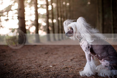 chinese crested freckled small dog sitting in forest