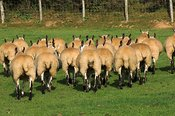 Welsh mules gimmers , out of Beulah ewes sired by a Blue Faced leicester ram, walking away