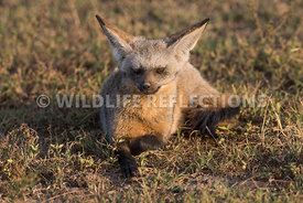 bat_eared_fox_ndutu_02202015-42