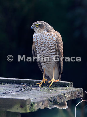 Juvenile male Eurasian Sparrowhawk (Accipiter nisus) rather optimistically standing on a bird table, Lake District National Park, Cumbria, England