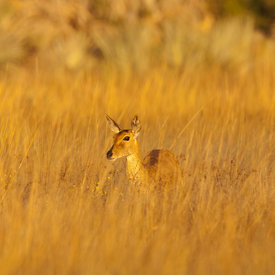 Reedbuck wildlife photos