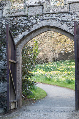 View from courtyard to naturalized daffodils in the meadow beyond. Cotehele, Cornwall, UK
