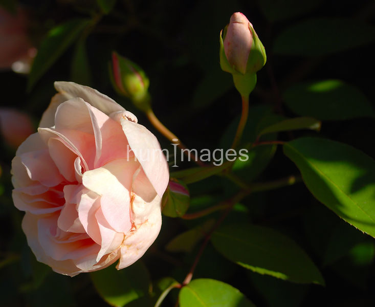 One pink rose facing left