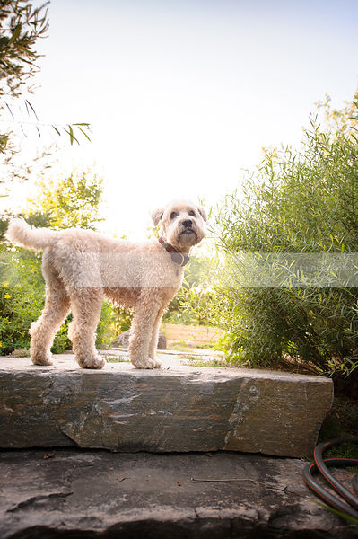 curly blond dog waiting on stone steps in backlit part
