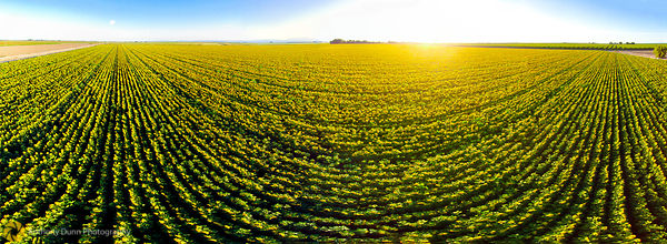 Aerial Panorama of Sunflower Fields #2