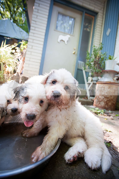 dirty wet great pyrenees puppy dogs together at water bowl
