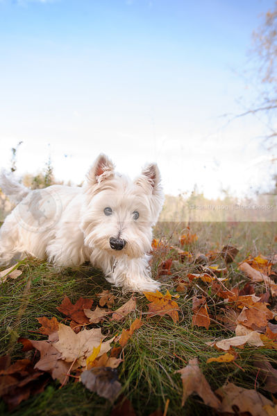 west highland terrier walking in autumn leaves