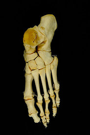 Left foot articulated dorsal view