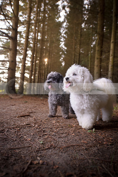 two little poodle crosses standing in tunnel of trees