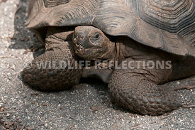 galapagos_giant_tortoise_young_1