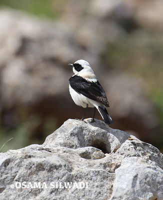 Black-eared wheatear photos