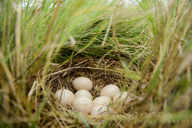 A clutch of eight bird eggs laid in a field of grass, low angle view.
