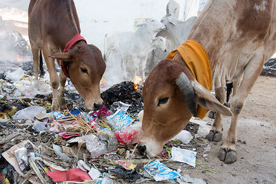 Cows eating flaming garbage, just another day in Pushkar, Rajasthan, India