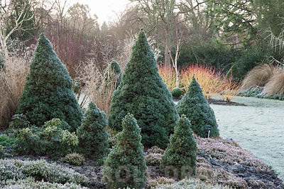 Picea glauca Alberta Blue, 'Haal', with heathers and white stemmed birch. Sir Harold Hillier Gardens, Ampfield, Romsey, Hants, UK