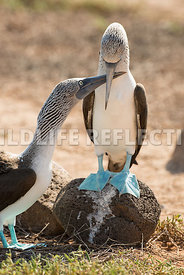 blue_footed_booby_north_seymour-77