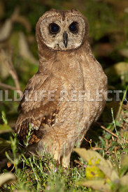 african_marsh_owl_dark_7