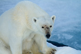 A polar bear found on ice around Northeastern Svalbard.