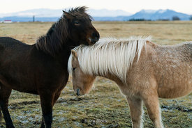 Iceland Horses on Iceland's south coast of Iceland.