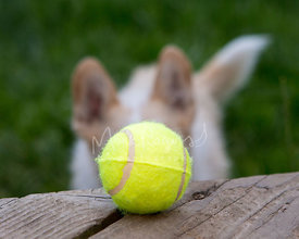 Close-up of Tennis Ball with Dog Looking from Background