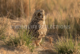 short_eared_owl_looking_around_grass-2