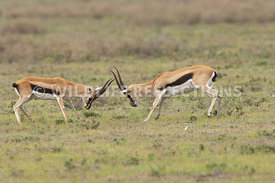 thomsons_gazelle_battle_4
