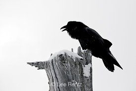Common Raven (Corvus corax) calling from a dead tree on Hurricane Ridge, Olympic National Park, Olympic Peninsula, Washington, USA, March, 2009_WA_8190