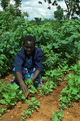 African woman tending young Sweet Potato crops in field Kenya Africa
