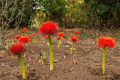 Scadoxus multiflorus, Harenna Forest, Bale Mountains National Park, Ethiopia