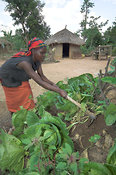 African woman picking cabbages from garden in village, Mbale, Uganda Africa