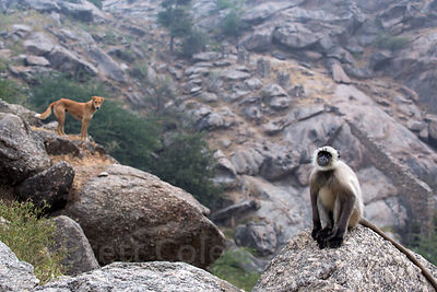 Indian Pariah stray dog and wild langur monkey in the Aravali mountains, Ajaypal, Rajasthan, India