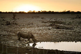 Rhinoceros at waterhole