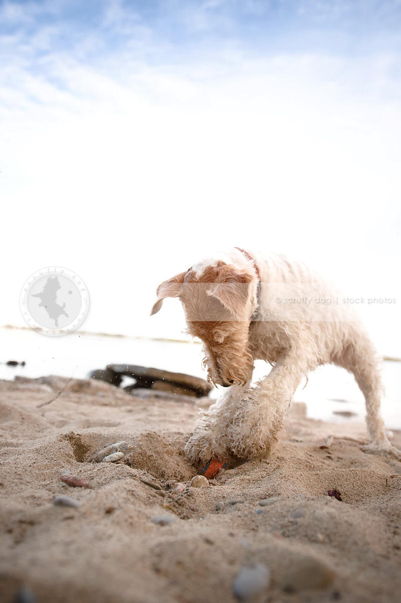 fun wirehaired terrier digging in sand on beach
