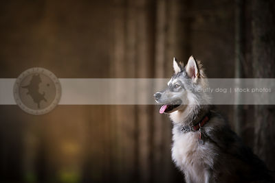 portrait of beautiful husky mixed breed dog with bokeh background