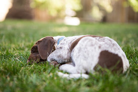 Cute brown and white puppy sleeping on lawn