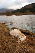 Drowned sheep on edge of flooeded field. Cumbria, November 2009