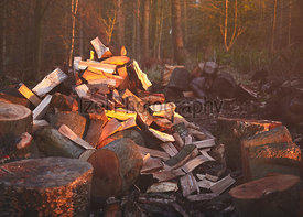 Chopped logs, firewoood, in managed woodland at sunset in England, UK.