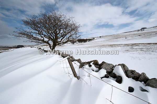 Snowdrifts behind a drystone wall, with a lone hawthorn tree. Cumbria, UK.