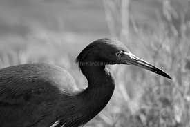 black and white blue heron