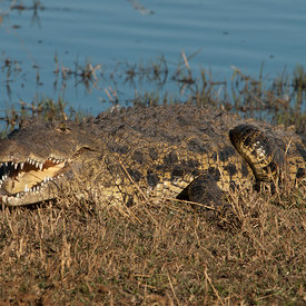 Crocodiles wildlife photos