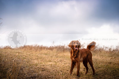 excited red setter mixed breed dog wagging in field under stormy sky